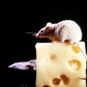 Ποντικιών
